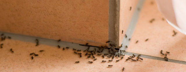 Do-It-Yourself-Pest-Control-How-to-Make-Your-Home-Free-of-Pests-ants